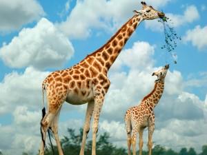 giraffa-5